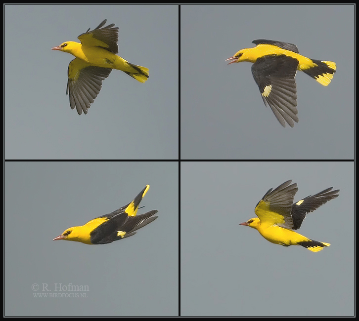 WIELEWAAL GOLDEN ORIOLE Oriolus oriolus All images copyright © Rein Hofman